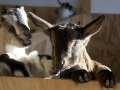 Goats at Twig Farm
