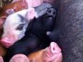 Piglets at Meeting Place Farm